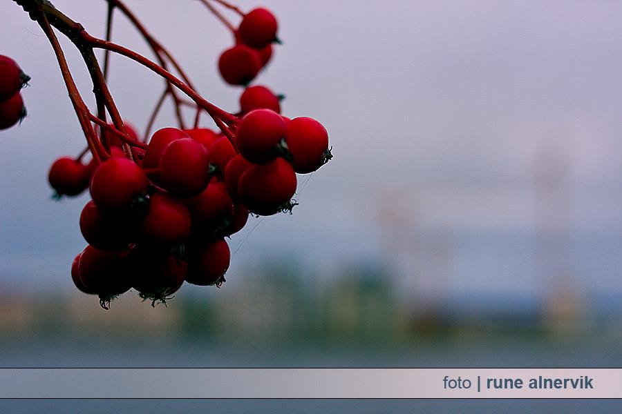 Väldigt röda bär vid Munksjöns strand