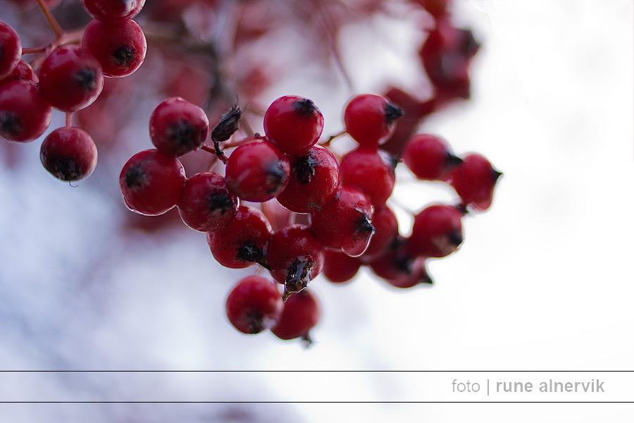 Röda bär på träd vid Munksjöns nordvästra kaj