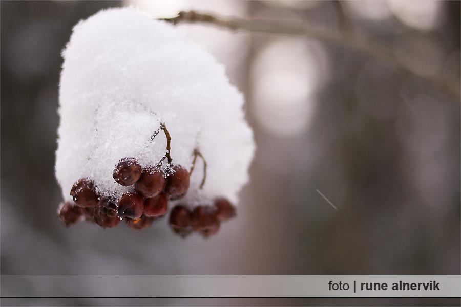 Rönnbär och snö