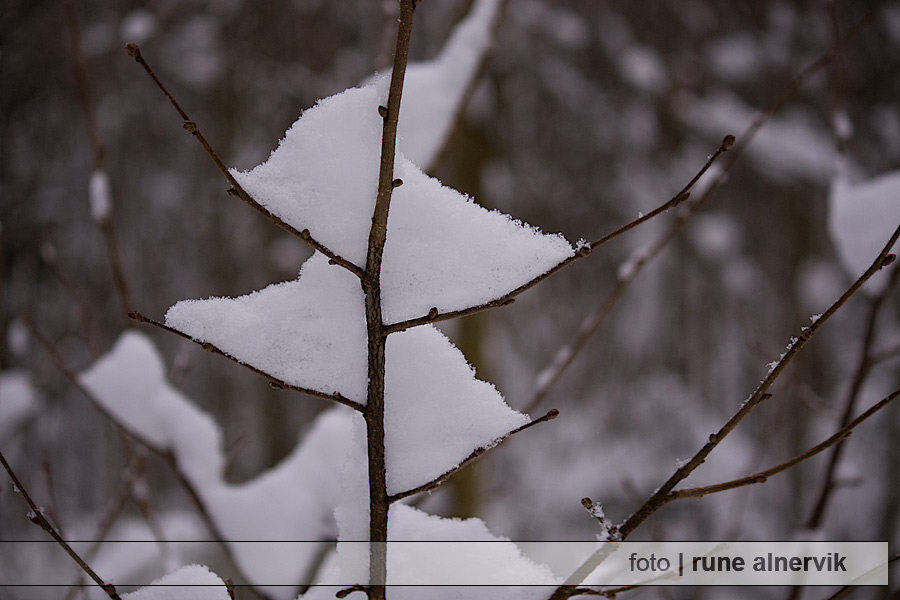 Miniträd och snö