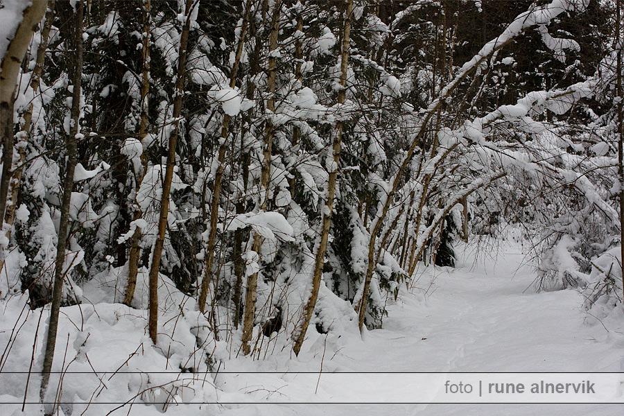 Mycket snö och ungbjörkar