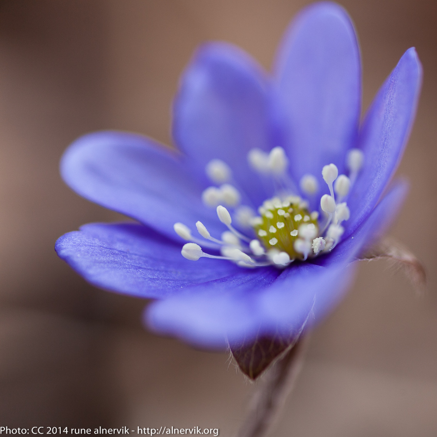 Blue anemone.