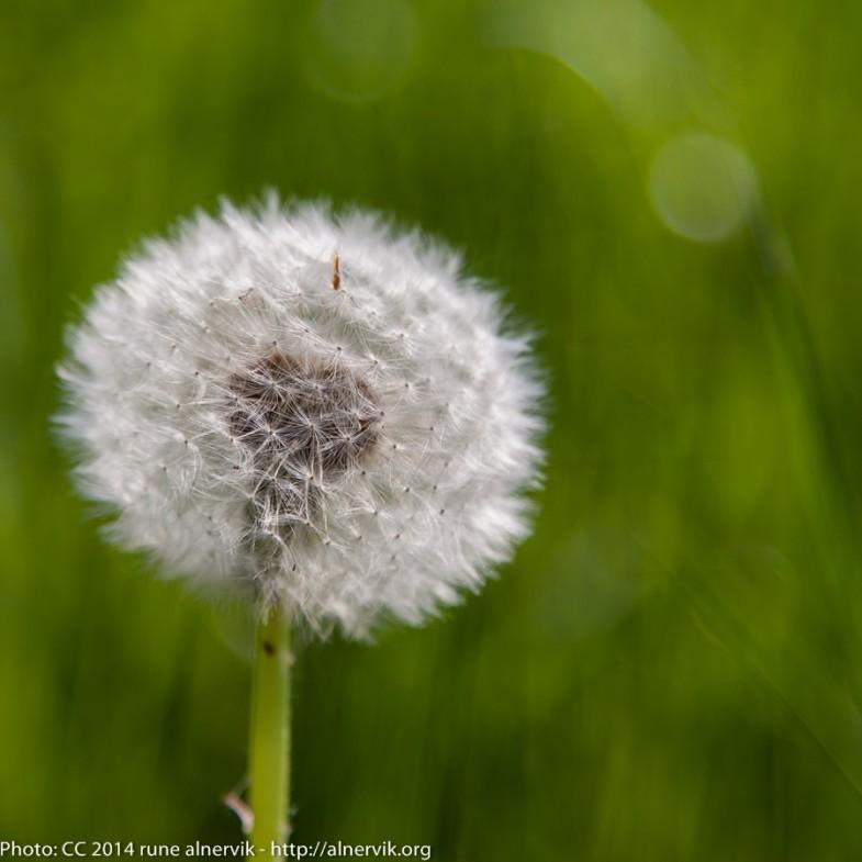 Dandelion ball.